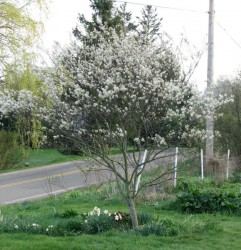 The Juneberry that gives the Juneberry bed its name