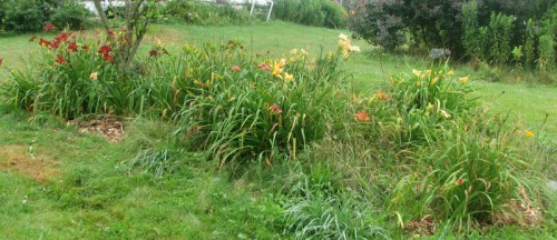 Image of daylily bed