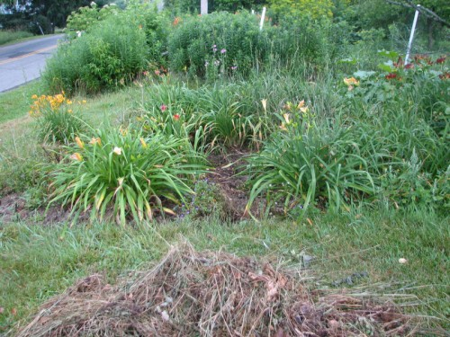 Image of partially weeded daylily bed