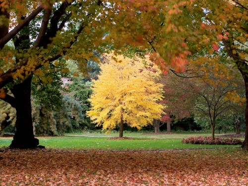Image of katsura tree with golden fall foliage