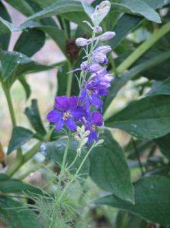 Image of deep blue larkspur