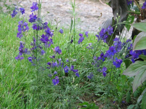Image of deep purple larkspur