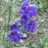 Image of deep purple larkspur