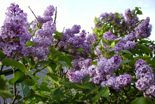Lilacs - Photo by Rundy 2003