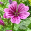Image of common or high mallow