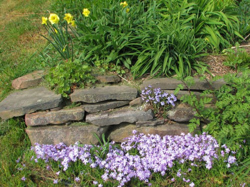 Image of creeping phlox, 'Waterperry' veronica, 'Curly Lace' daffodil