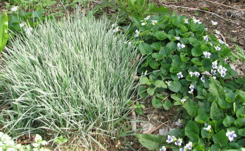 Image of variegated bulbous oat grass and white violets
