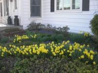 daffodils along the path