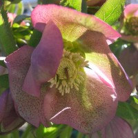 Hellebore, seed-grown by Bub