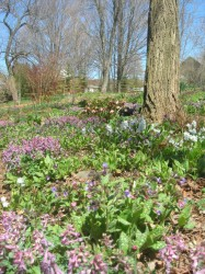 Corydalis solida, lungwort, hyacinths and hellebores provide a soothing view into the spring garden.