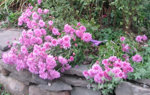 Image of purply-pink chrysanthemums leaning over a stone wall
