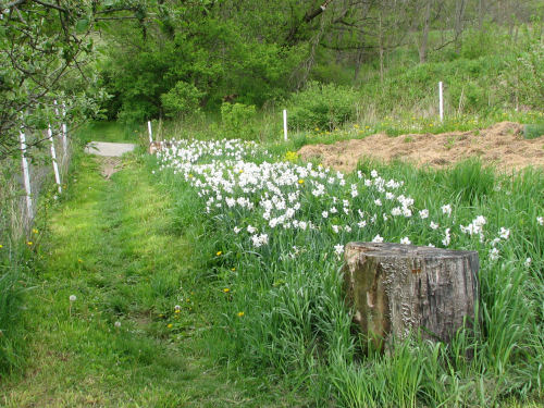 Poet's narcissus line the path in May