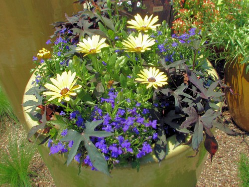 Image of container planted with yellow daisies, blue lobelia, and purple sweet potato vine