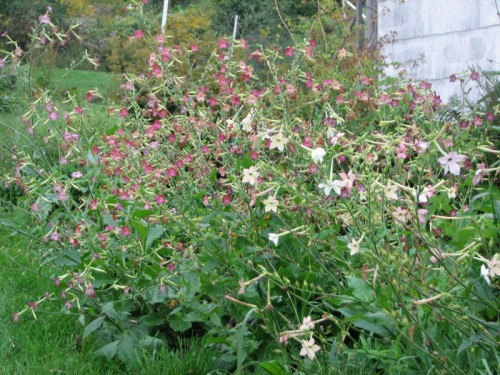 Image of pink and white flowering tobacco