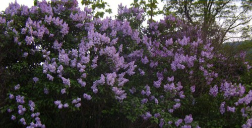 Inherited lilac bush