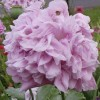 Image of pink peony poppy