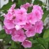 Image of pink phlox