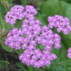 Image of purply-pink yarrow