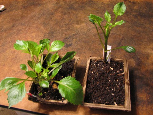 Image of two dahlia tubers sprouted in peat trays