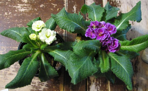 Image of potted primroses, one pale yellow and one purple