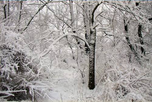 Image of snow covered woodland