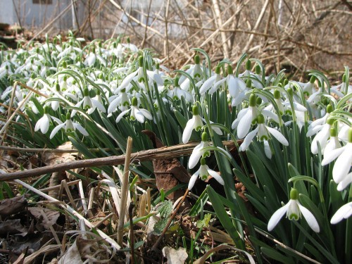 Image of patch of blooming snowdrops