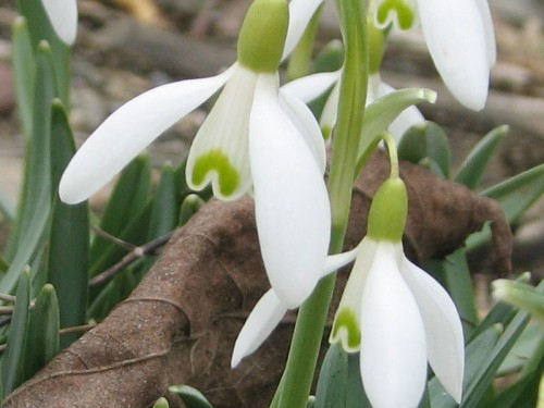 Image of fully opened snowdrops