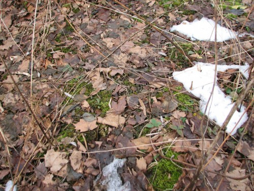 Image of barely emerged snowdrop shoots, scarcely discernible on the dried-leaf-strewn ground