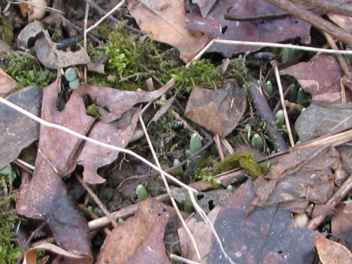 Close-up image of snowdrop shoots barely emerged from the ground