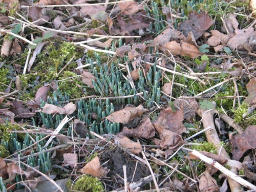 Image of snowdrop foliage emerging from the earth