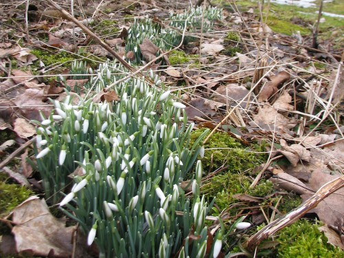 Image of snowdrop patch