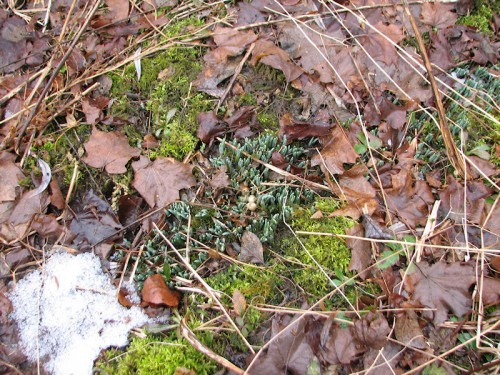Image of snowdrop leaves emerging from the earth