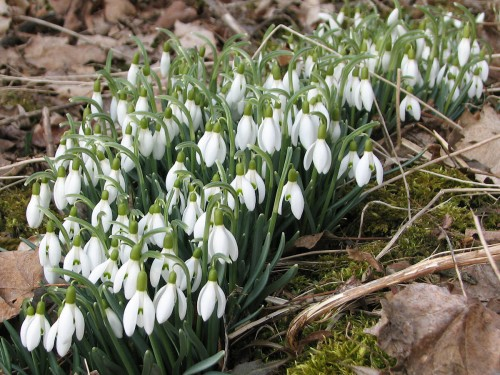 Image of blooming snowdrops