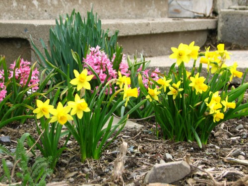 Tete a tete and multiflora hyacinths