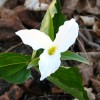 This trillium grows in the Secret Garden