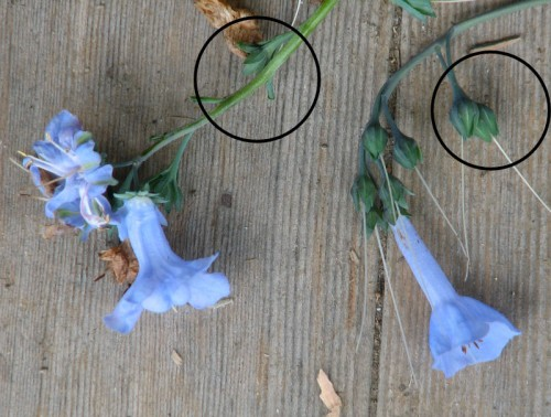 Virginia bluebell blossoms from different plants