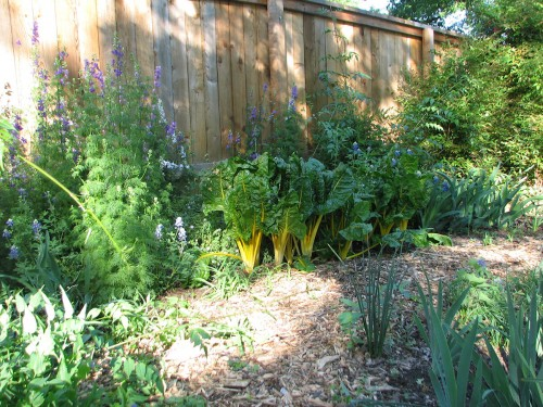 Image of Larkspur, Swiss chard, and blue bonnets growing in the same bed