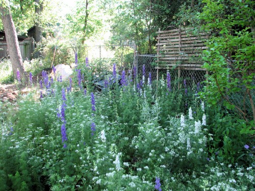 Image of a bed of larkspur