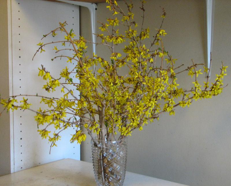 Forsythia Medicine Flowers