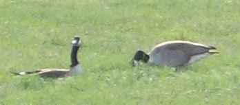 Geese feeding across the street - Photo by Cadence 2006