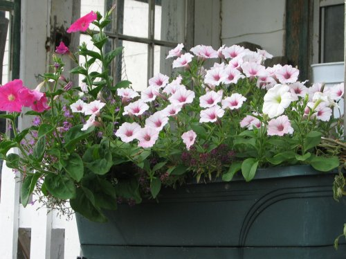 Image of windowbox with petunias and other flowers