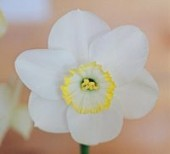 Narcissus 'Rimmon' - Photo by Anne Nigrelli - used with permission