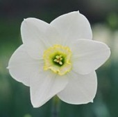 Narcissus 'Vernal Prince' photo by Anne Nigrelli - used with permission