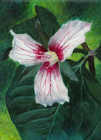 Image of acrylic painting of a Painted Trillium