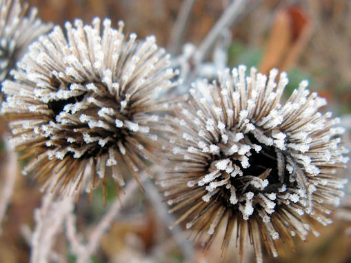 nov_frosted_burdock.jpg