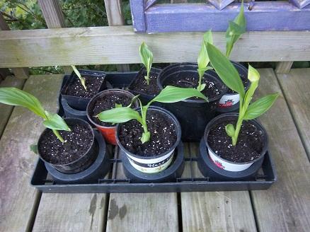 canna seedlings