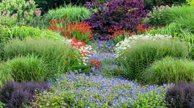 Rozanne geranium Bressingham Gardens