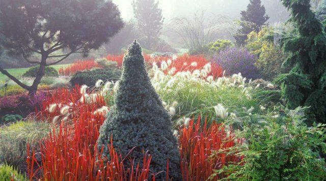 Japanese blood grass Bressingham gardens