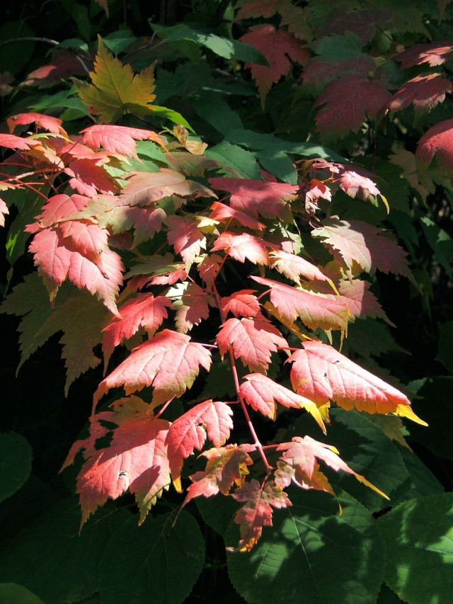 <em>Acer caudatum ssp. ukurunduense</em> is from the Ukurundu region of China and the Honshu island of Japan