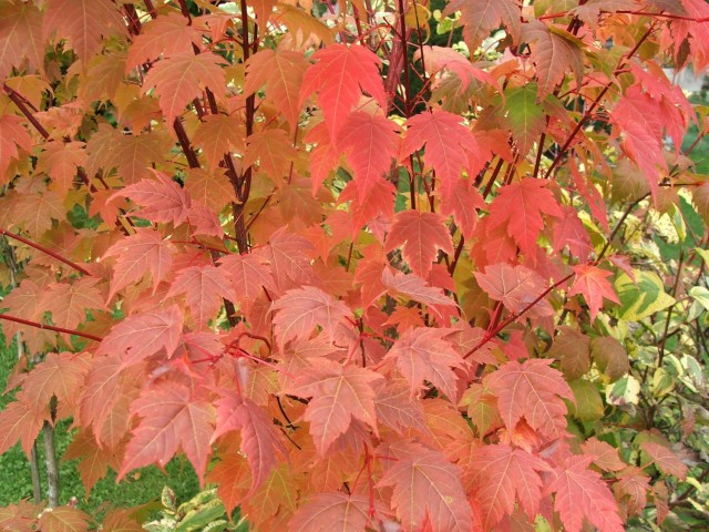 Tschonoski's maple (<em>Acer tschonoskii</em>) showed more brilliant coloration than the native sugar maple.